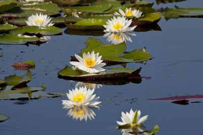 https://imgc.allpostersimages.com/img/posters/fragrant-water-lily-nymphaea-odorata-on-caddo-lake-texas-usa_u-L-PXR7VN0.jpg?p=0