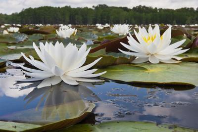 https://imgc.allpostersimages.com/img/posters/fragrant-water-lily-nymphaea-odorata-on-caddo-lake-texas-usa_u-L-PXR7Y10.jpg?p=0