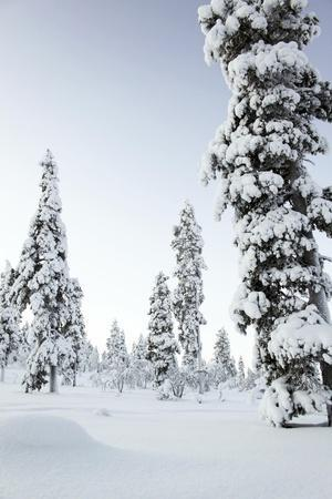 Pine Forest Covered in Snow in Lapland, Finland