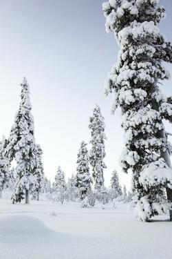 Pine Forest Covered in Snow in Lapland, Finland by Fran?oise Gaujour