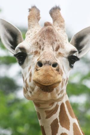 Giraffe close up in Alabama Zoo by Frances Duggins