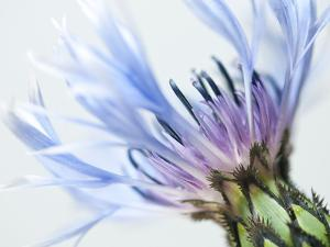 Blue Centaurea by Frances Gallogly