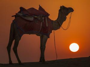 Camel Silhouetted Against the Setting Sun in the Thar Desert Near Jaisalmer, India by Frances Gallogly