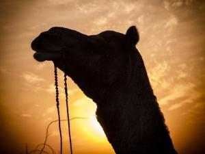 Camel Silhouetted Against the Sunset at the Pushkar Fair, India by Frances Gallogly