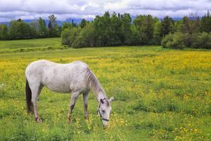 Horse Grazing in a Meadow Filled with Buttercups, New Hampshire by Frances Gallogly