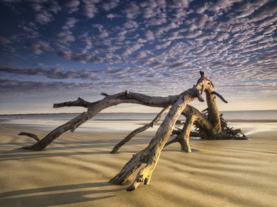 Looking Like a Sea Serpent, a Piece of Driftwood on the Beach at Dawn in Jekyll Island, Georgia