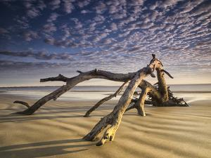 Looking Like a Sea Serpent, a Piece of Driftwood on the Beach at Dawn in Jekyll Island, Georgia by Frances Gallogly