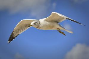 Seagull Soaring under Puffy Clouds and Blue Skies by a Florida Beach by Frances Gallogly