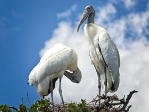 Woodstork Couple in Florida by Frances Gallogly