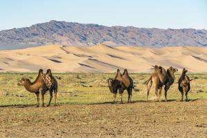 Camels and sand dunes of Gobi desert in the background, Sevrei district, South Gobi province, Mongo by Francesco Vaninetti