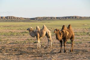 Two camels in Gobi desert, Ulziit, Middle Gobi province, Mongolia, Central Asia, Asia by Francesco Vaninetti