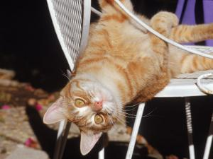 Tabby Cat Sitting with Head Hanging Upside Down by Francie Manning