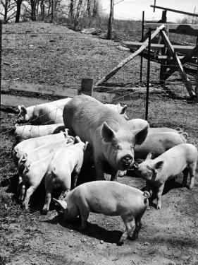 Championship Yorkshire Mother Pig with Babies by Francis Miller