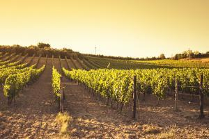 Vineyard at Sunset by franckreporter