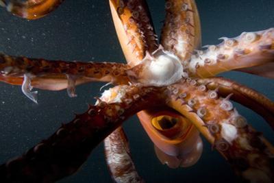 Beak and Tentacles of Humboldt Squid (Dosidicus Gigas) at Night Off Loreto