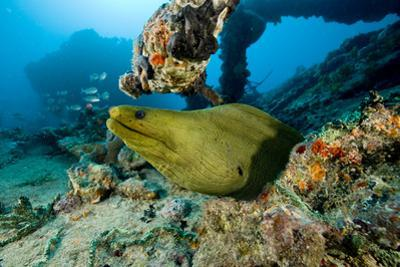 Green Moray (Gymnothorax Funebris) Santa Lucia, Camaguey, Cuba, Caribbean Sea, Atlantic Ocean by Franco Banfi