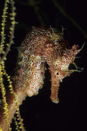 Pacific Seahorse (Hippocampus Ingens) Galapagos Islands, East Pacific Ocean