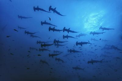 Schooling Scalloped Hammerhead Sharks (Sphyrna Lewini) Cocos Island National Park, Costa Rica by Franco Banfi