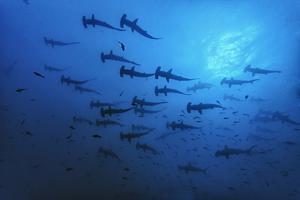 Schooling Scalloped Hammerhead Sharks (Sphyrna Lewini) Cocos Island National Park, Costa Rica by Franco Banfi