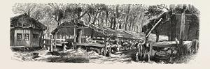 Franco-Prussian War: Refuges in the Jardin Des Plantes in Paris for the Nutrition of Cattle, France