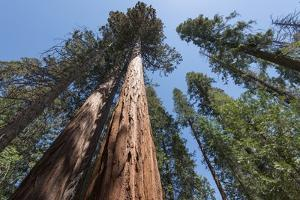 Sequoia Trees at Mariposa Grove, Yosemite by Francois Galland