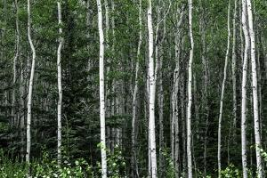Birch Forest on the Island of Kodiak, Alaska by Françoise Gaujour