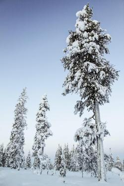 Pine Forest in Lapland, Finland by Françoise Gaujour