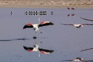 Pink Flamingos from the Andes in the Salar De Atacama, Chile and Bolivia by Françoise Gaujour