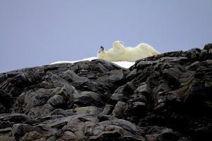 Polar Bear in the North Pole by Françoise Gaujour