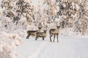 Reindeers Near Ivalo, Finland by Françoise Gaujour
