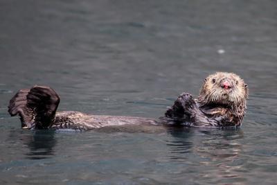 See-Otter in Alaska