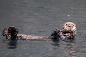 See-Otter in Alaska by Françoise Gaujour