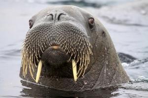Walrus in Svalbard, Norway by Françoise Gaujour