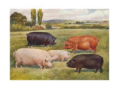 Breeds of pigs, c1902 (c1910)