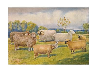 Breeds of sheep, c1902 (c1910)