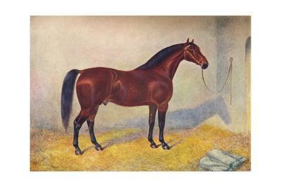Cleveland Bay stallion Sultan, c1902 (c1910)
