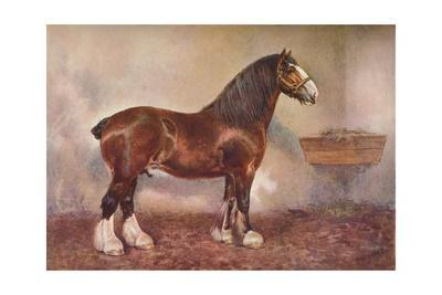 Clydedale stallion Prince of Albion, c1900 (c1910)