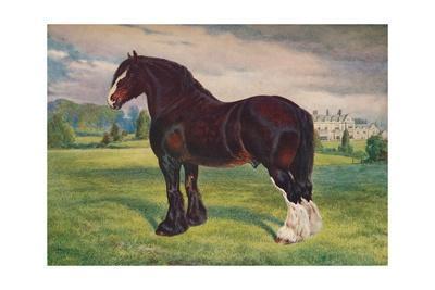 Shire Horse stallion Harold, c1905 (c1910)