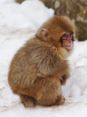 Baby Snow Monkey (Japanese Macaque) at Jigokudani Yaen-Koen Hot Spring by Frank Carter