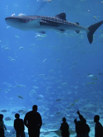 Large Whale Shark Swimming in Tank with People Below at Georgia Aquarium