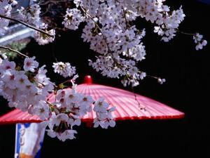 Red Umbrella and Cherry Blossoms, Kyoto, Japan by Frank Carter