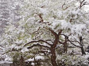 Snow Covered Tree in Garden of Heian Shrine During Snowfall by Frank Carter