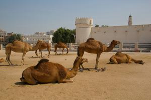 Camels in Camel Souq, Waqif Souq, Doha, Qatar, Middle East by Frank Fell