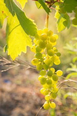 Grapes, Vineyards at Diano Castello, Imperia, Liguria, Italy, Europe by Frank Fell