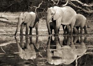 African elephants, Okavango, Botswana by Frank Krahmer