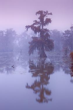Bald Cypress (Taxodium Distichum) in Fog by Frank Krahmer