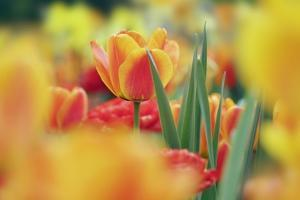 Beautiful Background with Yellow and Orange Tulips by Frank Krahmer