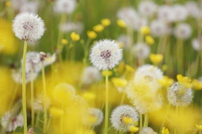 Beautiful Background with Yellow and White Dandelions