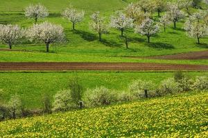 Cherry Plantation in Bloom by Frank Krahmer