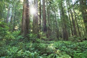 Coast Redwood Forest (Sequoia Sempervirens) by Frank Krahmer
